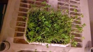 Microgreens-2Bwk-2B1