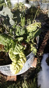 Chard after snow