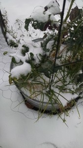 snow chard
